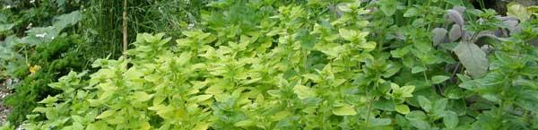 Using herbs